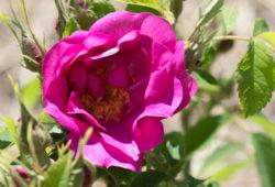 rose du rosarium